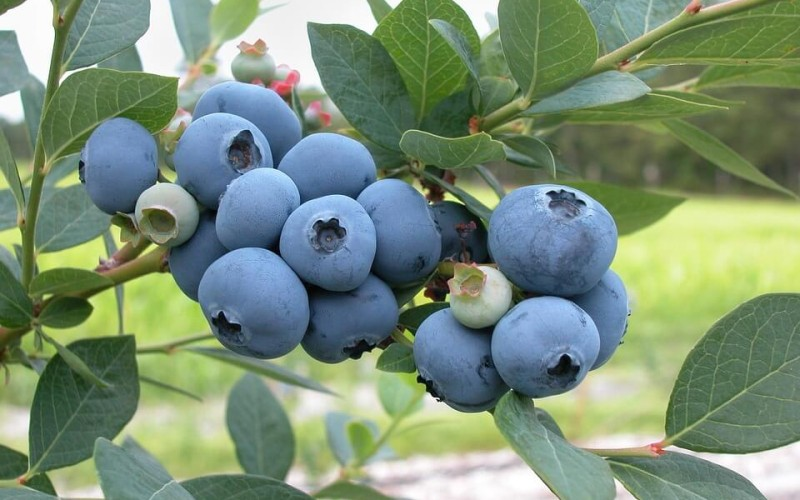 blueberries-1813420_960_720-boruvky-skeeze-pxb