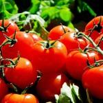 Rajčata: výsev a pěstování